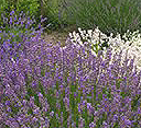 wave-hill-cooking-with-lavender2